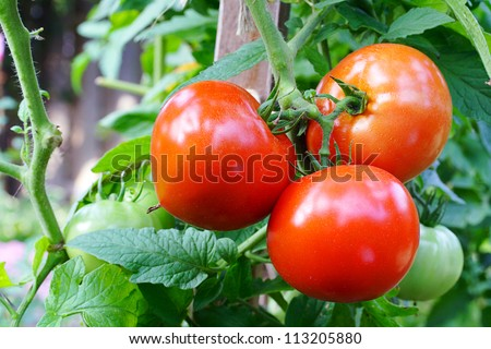 Red tomatoes ripening on vine - stock photo
