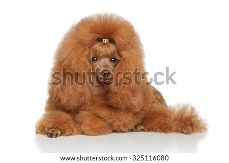 Red Toy poodle lying on a white background - stock photo