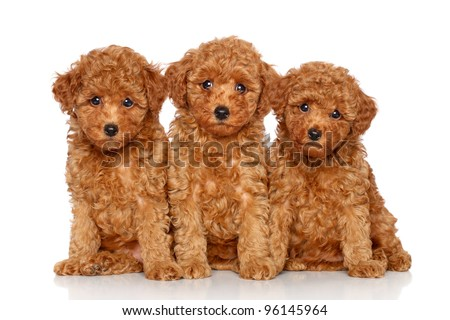 Red toy poodle puppies (2 month) posing on a white background - stock photo