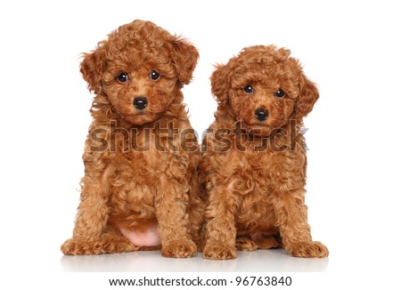 Red toy Poodle puppies. Portrait on a white background - stock photo