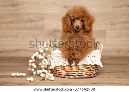 Red Toy Poodle puppy in wicker basket on wooden background - stock photo