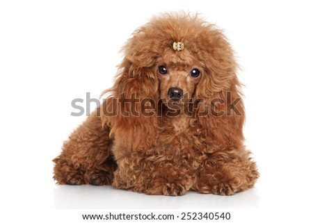 Red toy poodle puppy lying in front of white background - stock photo