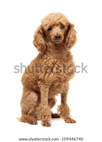 Red Toy Poodle puppy on a white background - stock photo