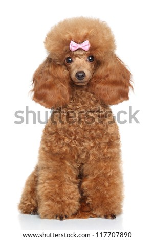 Red Toy Poodle puppy sits on a white background - stock photo