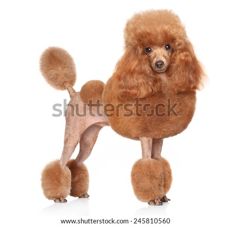 Red Toy Poodle standing in front of white background - stock photo