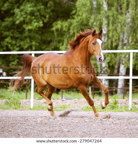 Red Trakehner horse runs trot on the nature background - stock photo