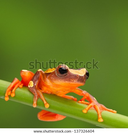 red tree frog climbing in Amazon rain forest. Small amphibian with big eyes, Dendropsophus leucophyllatus from tropical jungle of Peru, Brazil, Bolivia, Colombia and Ecuador - stock photo