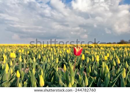 red tulip among yellow tulips on field, Netherlands - stock photo