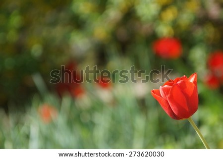 red tulip and grass