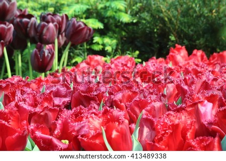 Red tulip carola in full bloom, with tulip black jack flower bulbs in the background - stock photo
