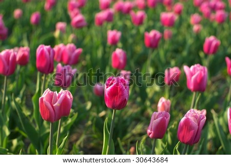 Red tulip field, background.