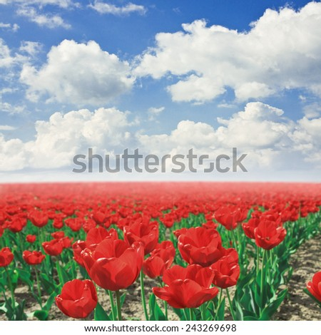 red tulip field under blue sky - stock photo