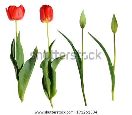 Red tulip flowers and buds isolated on white background - stock photo