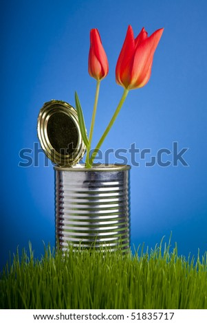 Red tulip, growing in tin can