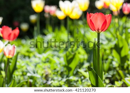 red Tulip in a flowerbed sunlight closeup - stock photo
