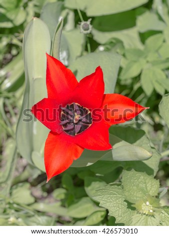 red tulip in the spring close up - stock photo