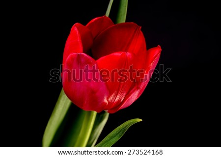Red tulip macro isolated over a black background - stock photo