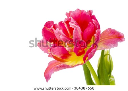 red tulip on white background - stock photo