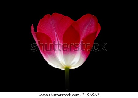 red tulip with black background