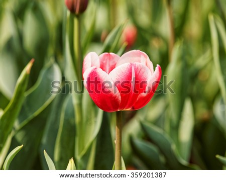 Red tulip with blur green background.