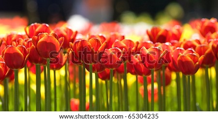 Red tulips. - stock photo