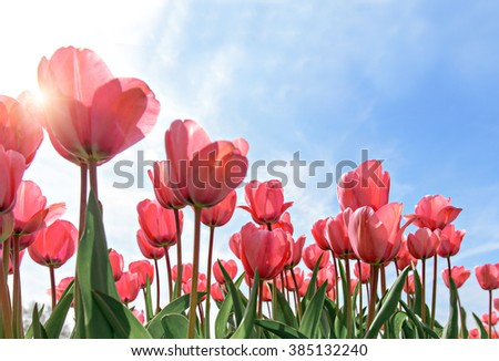 Red tulips against blue sky background