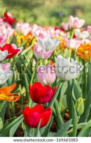 Red tulips and pink tulips in garden