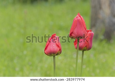 Red Tulips and rain drops - stock photo