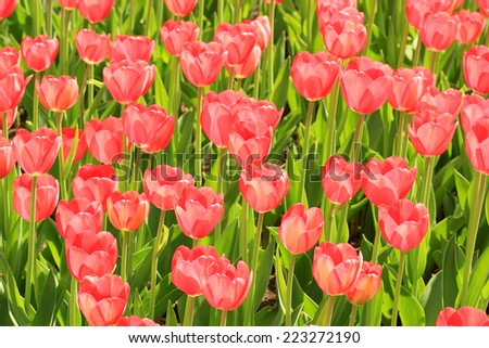 Red tulips blossom in summer on a green background. - stock photo