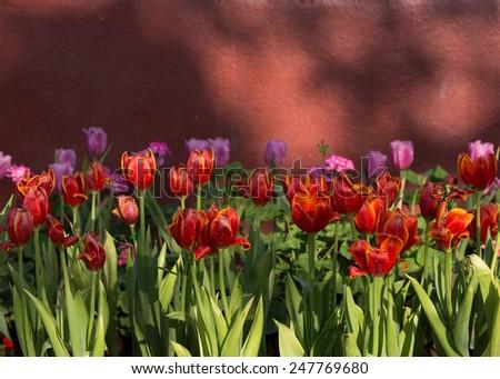 red tulips flower blooming in garden - stock photo