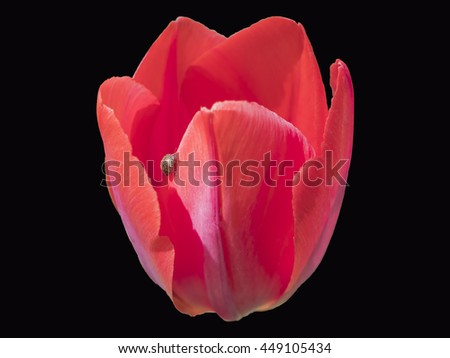Red Tulips Flower with Ladybug on its petal isolated on black background - stock photo