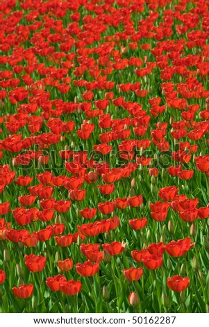 Red tulips flowers background, view in perspective