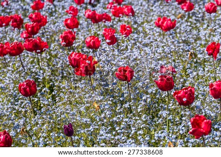 Red Tulips Garden In Spring - stock photo