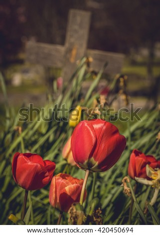 Red tulips growing on the old forgotten grave in a cementery in England - stock photo