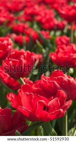 Red tulips in a field