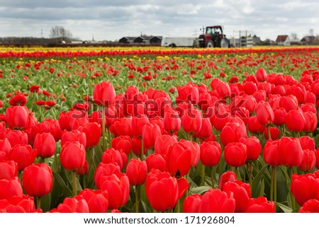 Red tulips in Dutch countryside - stock photo