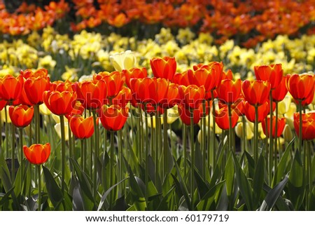 Red tulips in spring, Netherlands, Europe