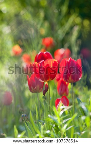 Red tulips in the backlight of sun.