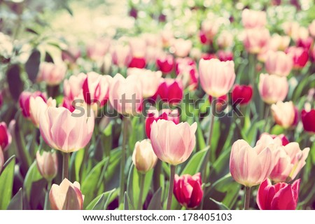 Red tulips in the park. Spring landscape.