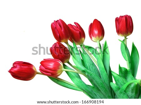 red tulips isolated on white background. - stock photo