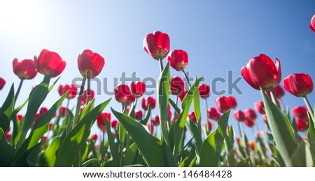 red tulips on a background of blue sky - stock photo