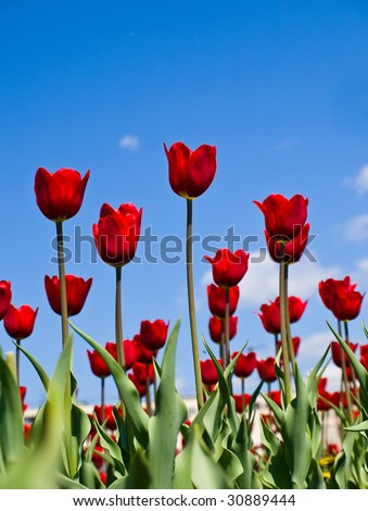 red tulips on a background of blue sky