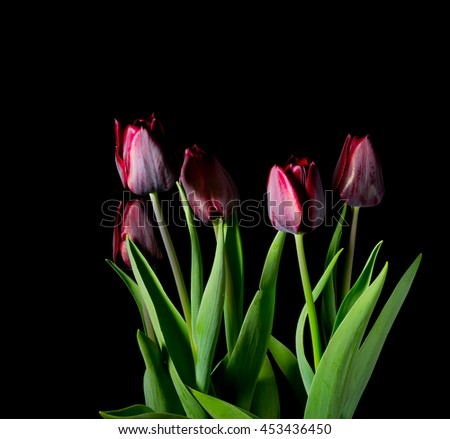 Red tulips on a black background