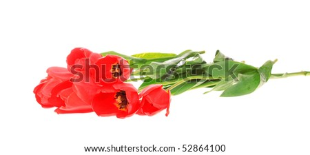 Red tulips, on a white background, it is isolated.
