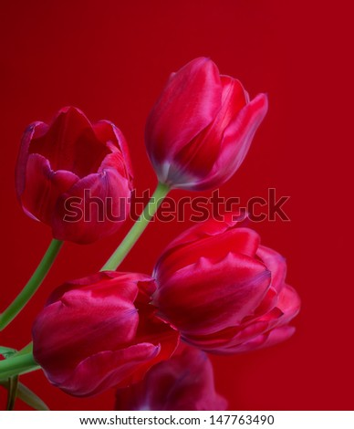 red tulips on red background - stock photo