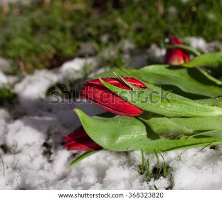 Red tulips on snow closeup - stock photo