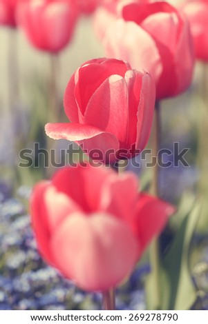 Red tulips.  Red tulips and blue flowers in the garden.Soft  and blur style for background.  Done with vintage retro filter. A photo with very shallow depth of field  - stock photo