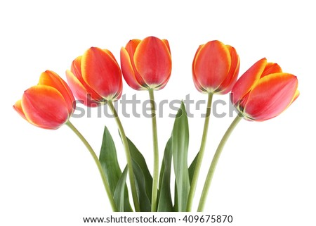 Red tulips with yellow edges of petals isolated on white background.