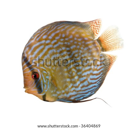 Red Turquoise Discus fish, Symphysodon aequifasciatus, in front of white background, studio shot