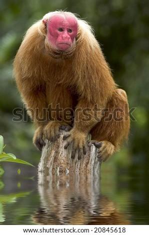 Red Uakari monkey from Amazon, Brazil - stock photo